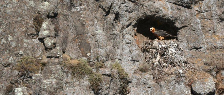 Bearded Vulture Pothole Nest