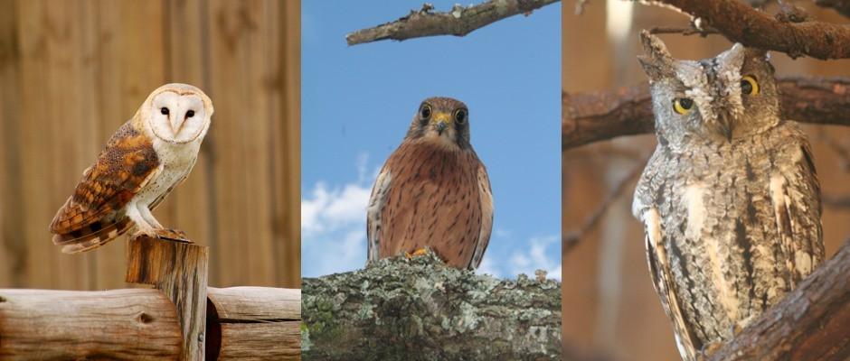 Barn Owl, Rock Kestrel & Scops Owl