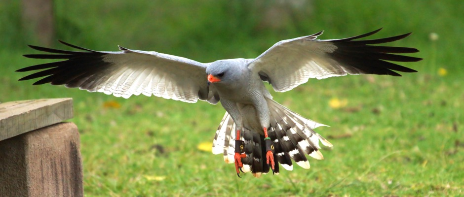 Pale Chanting Goshawk comes in to land