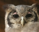 Verreauxs' Eagle Owl