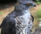 Cuckoo Hawk
