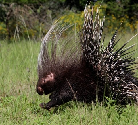 Porcupines released at the Sanctuary