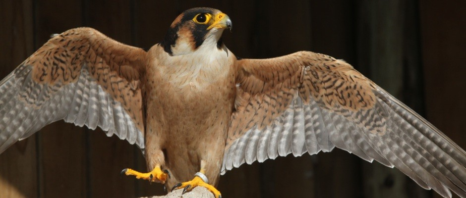 A captive-bred Taita Falcon stretches her wings