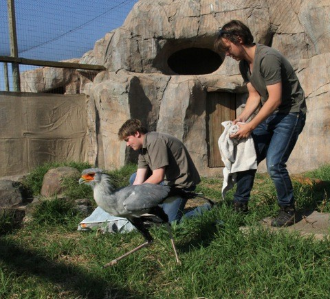 Secretary birds move to new enclosure